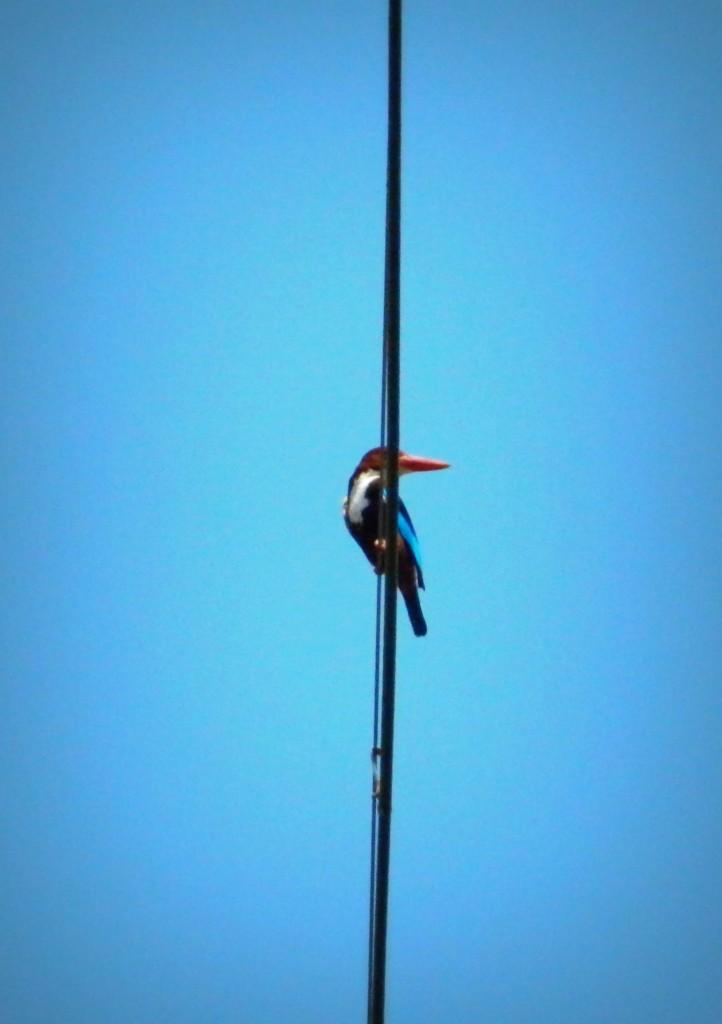 White breasted Kingfisher Mumbai
