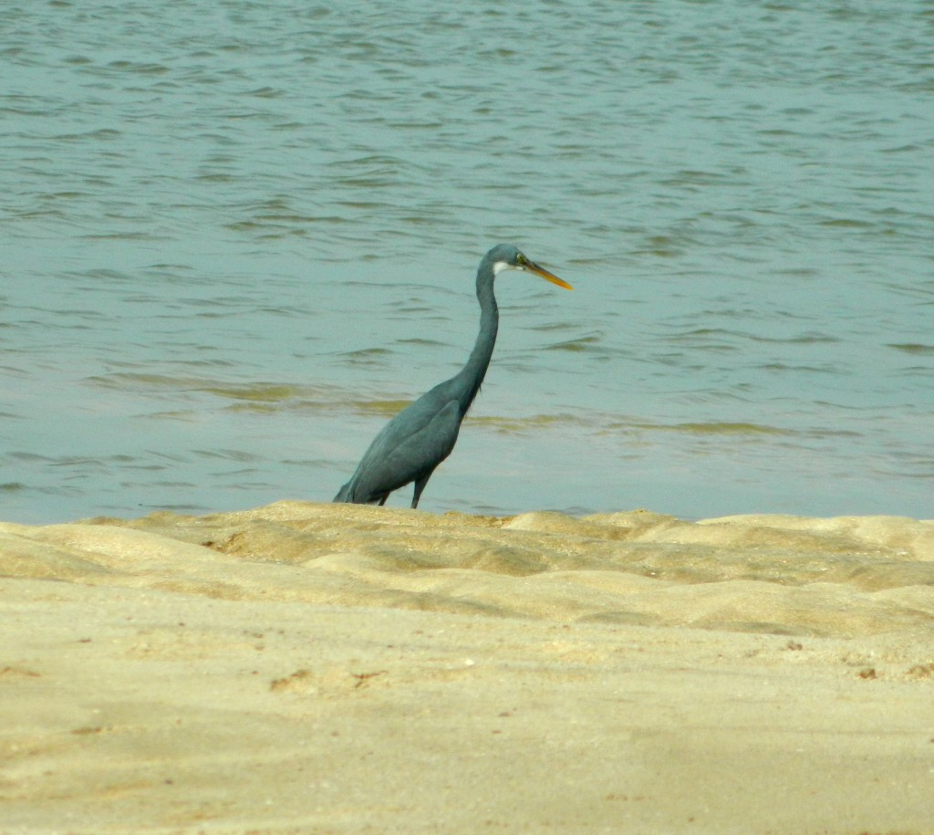 Egret at Kelwa beach, near Mumbai