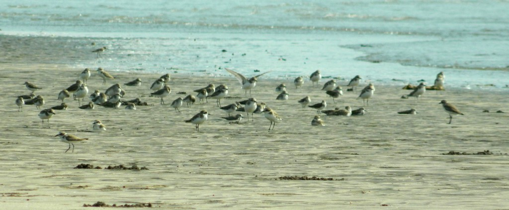 Sand Plovers