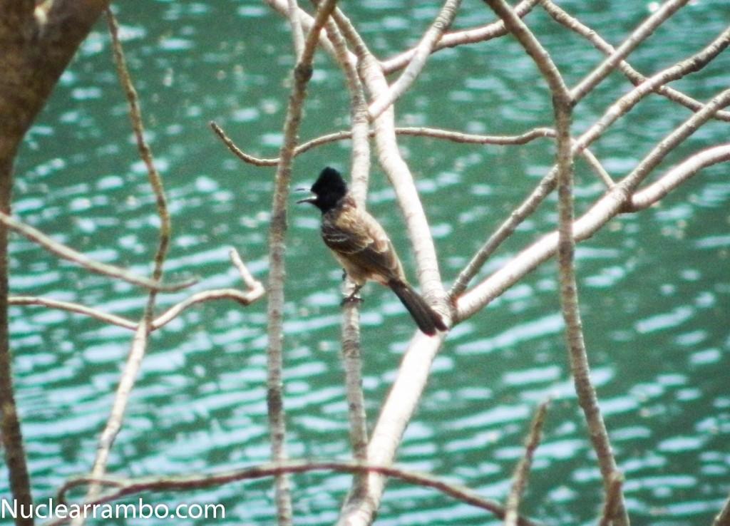 Bulbul birds at bhatsa reservoir