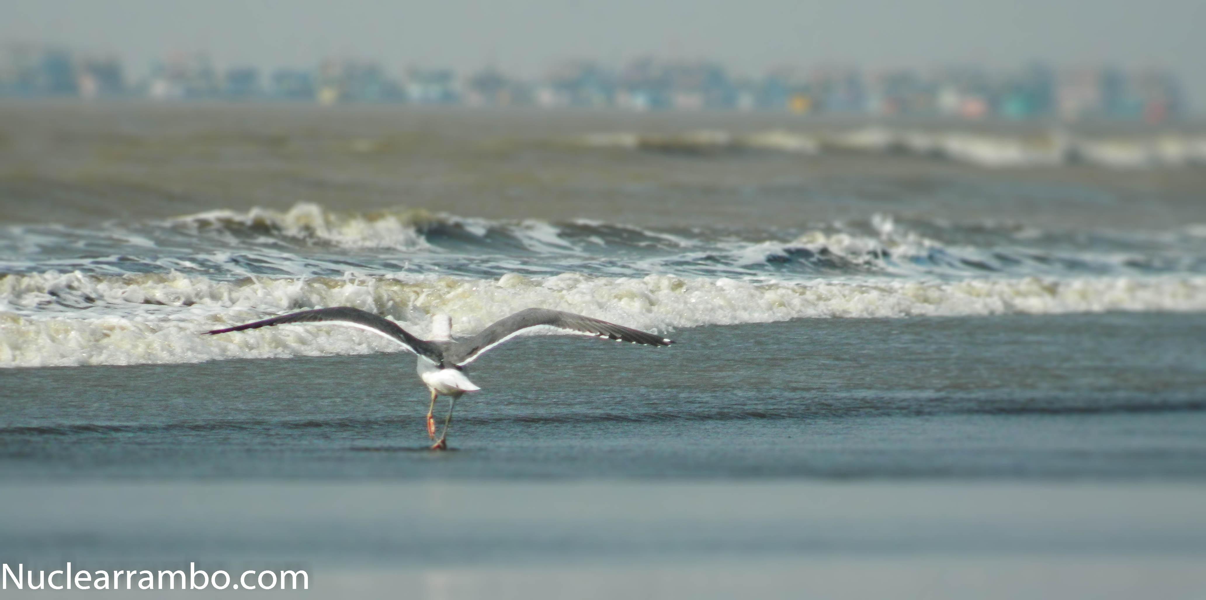 Sea gull on arnala beach