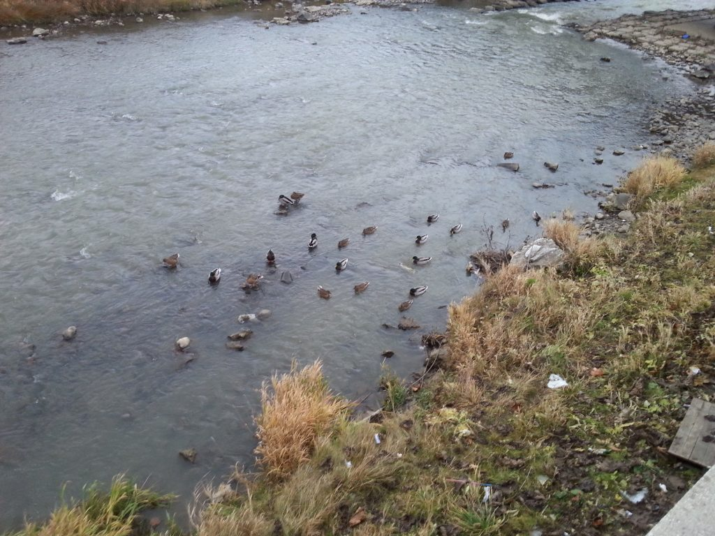 Memory photos of wild ducks